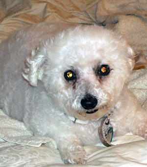Bichon Frise Rescue of Northern New Jersey - Sponsored by